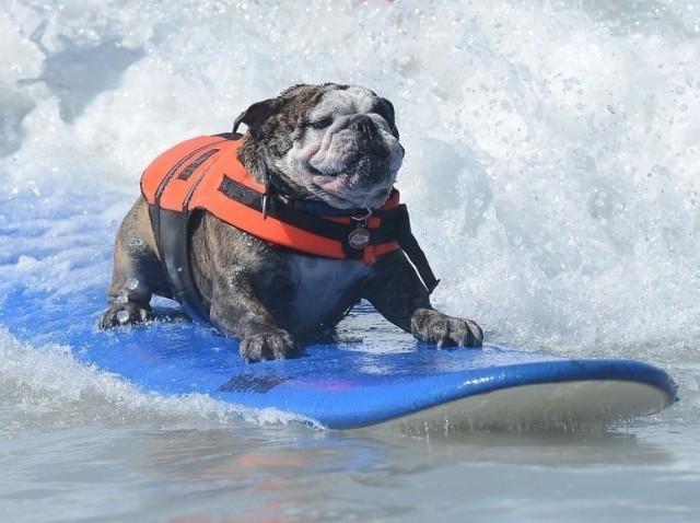 Le surf canin arrive à Biarritz